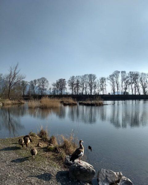 🐦Kleine Abwechslung zu meinen Schwänen: Enten-Familie mit stolzer Mama....🦆 . #draussenunterwegs #amwasser #hauptsachedraussen ...