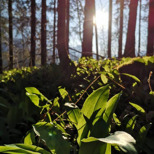 Frühlingserwachen mit der Bären-Kraft der Wildkräuter #bärlauch #giersch #scharbockskraut(nur vor der Blüte ernten) ...