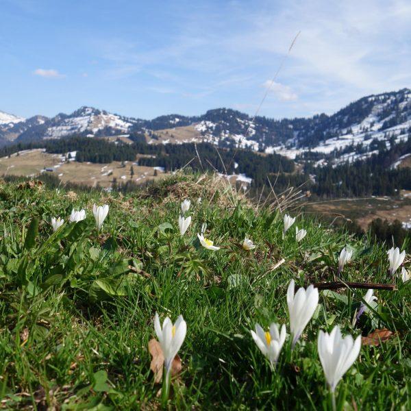 Auch auf den Alpen zieht langsam der Frühling ein ...