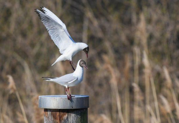 #möwe #möwenfotographie #möwenphoto #möweontour #möwenausflug #seagull #bodensee #bodenseeliebe #bodenseepage #vorarlberg #visitvorarlberg #bird #vogel #birdwatching #naturphotography #naturphoto #nikon...
