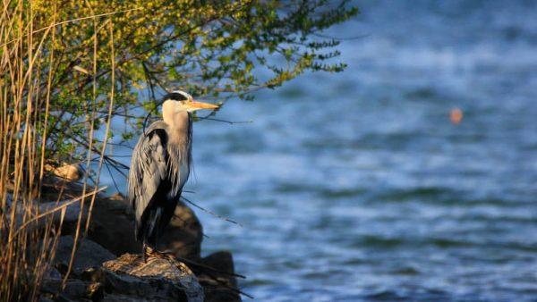 Graureiher - Heron #graureiher #heron #birdsofinstagram #bird #birdphotography #bestbirdshots #birds #naturfotografie #naturephotography #nature #nature #visitvorarlberg #vorarlberg #explorevorarlberg...