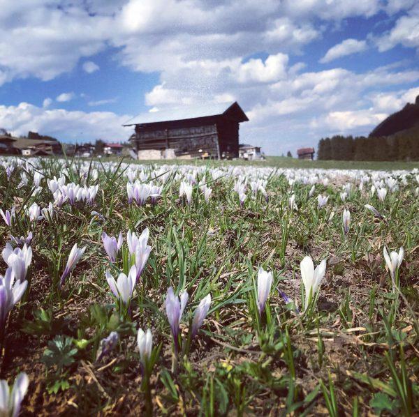 #happyeaster 🐣 #krokus #springtime #stayhealthy #flowers #field #sunnyday #easter #happy #kleinwalsertal #mittelberg #vorarlberg ...
