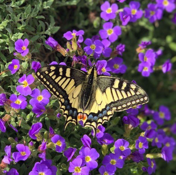 Die Schmetterlinge schnuppern schon die Frühlingssonne und fühlen sich sichtlich wohl, der Schwalbenschwanz ...