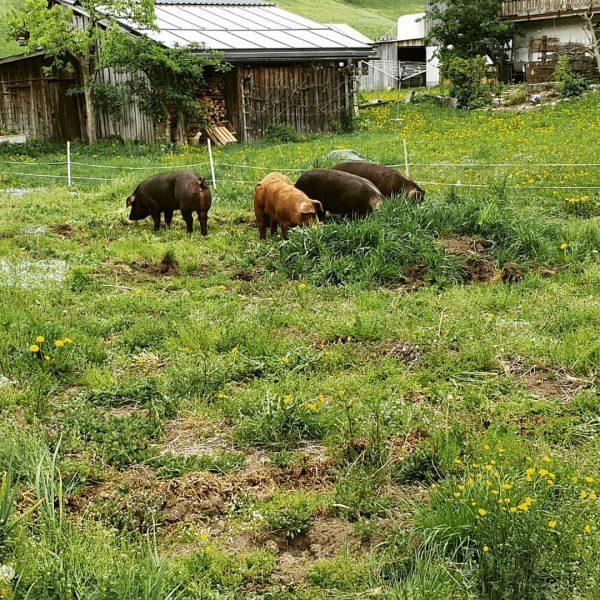 Wieder einmal haben unsere Durocschweine einen Arbeitsauftrag... Feld und Wiese umgraben. Diesesmal in Bezau bei der Solidarischen...
