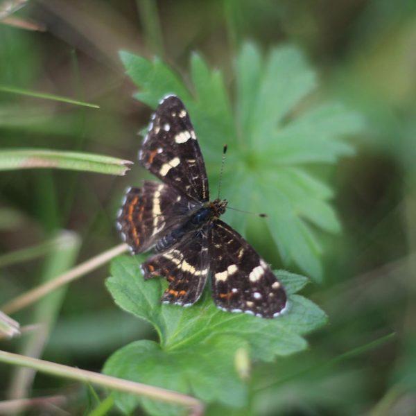 Ein Landkärtchen am 14.8.19 Mittelalp Riezlern #schmetterling #landkärtchen #butterfly #falter #insect #macrophotography #makrofotografie #kleinwalsertal #insektenfotografie #naturephotography Kleinwalsertal...