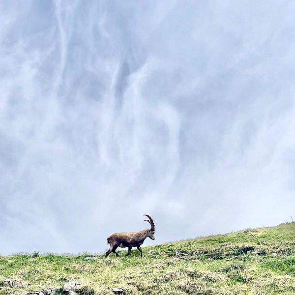 hello, friend 🏞 #homeiswhereyoucanseethekanisfluh #alpineibex #steinbock #homesweethome #alps #bregenzerwald #mellau #visitvorarlberg #austria Kanisfluh