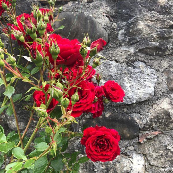 red roses #sohübschhier #roses #rosen #red #rosenrot #redroses #bregenz #oberstadt #oldtown #mauer #stonewall ...