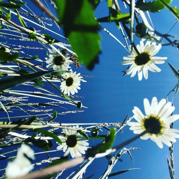 Für jeden ist ein Kraut gewachsen 🌸🌼🌻🌹🌸🌺 #venividivorarlberg #naturverliebt #margaritas #wiesenblumen #frischesheu #sunnyday ...