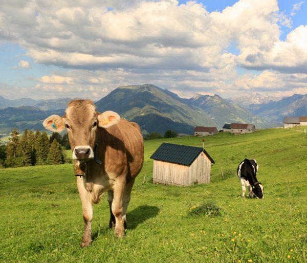 Was für eine Aussicht, was für eine Kuh!🐮😍 Die perfekte Traumkulisse für ein ...