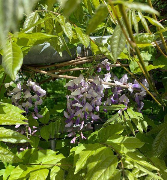 #glyzinie #wisteria #blauregenliebe #traumferienwohnungen #riezlern #kleinwalsertal Alpen-Suite