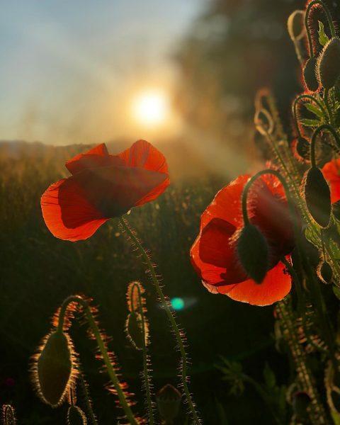 Mohn ❤️ . . . #mohnblume #mohn #mohnblumen #blumen #flowers #poppy #poppyflower #vorarlberg ...