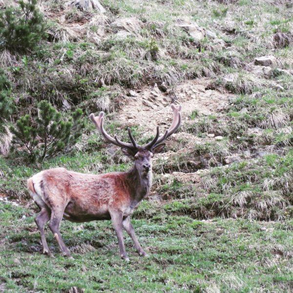 Fast schon fertig mit dem neuen Geweih! 🌿🦌🌿 #wildlifephotography #wildlife #auroralech #nature #naturephotography ...