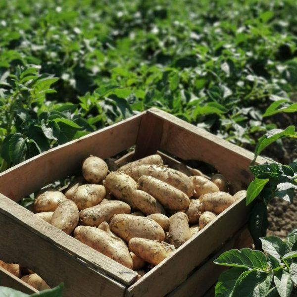 Endlich Zeit für Frühkartoffeln! Die frisch geernteten Kartoffeln mit Ländle Gütesiegel gibt es ab sofort beim Lerchenauerhof...