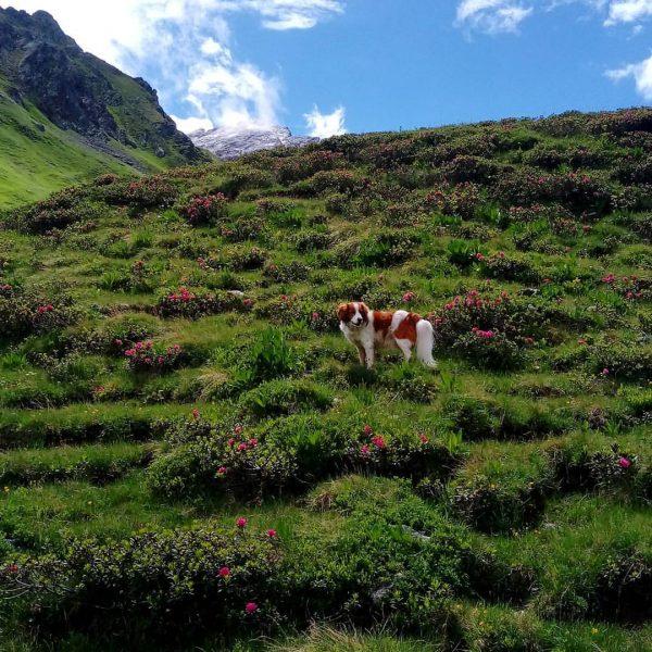 Lieblingsgemse 🐾 #schönsteshondje #alpenrosenkletterei #alpen #mountains #travel #kooikerhondje #montafon #happydangi Schweizer Tor