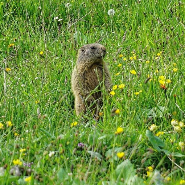 Catched a Marmot 😍 Cute animals #marmot #animal #wildlife #wildanimal #mountains #liechtenstein #planken ...