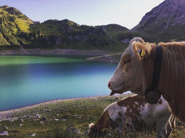 🐮 🐄 ⛰ #Lech #Lechquellenrunde #Edelweissmarsch #Wandern #Alpen #Alpenüberquerung #Wanderlust #Fussmarsch #Kuh #Berge ...
