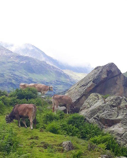 #cows #verwall #schönverwalltal