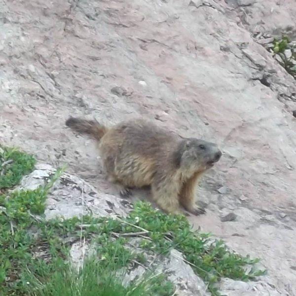 Begegnung am Wegesrand #Murmeltier #Marmota #Rätikon #Fels #Kalk #Alpen #Vorarlberg #Lünersee #Öfapass #Wildnis ...