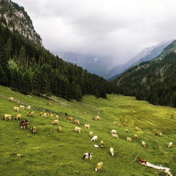 the cows before the storm #kühe im #saminatal. #alpen #animals #dji #rural #liechtenstein ...