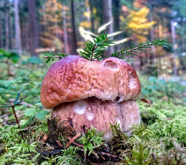 #steinpilz #herrenpilz #fichtensteinpilz #boletusedulis #mushrooms #wald #intotheforrestigotolosemymindandfindmysoul #artofthenature #artwithnature #diversity #botanist #waldrunde #forrestpeople ...