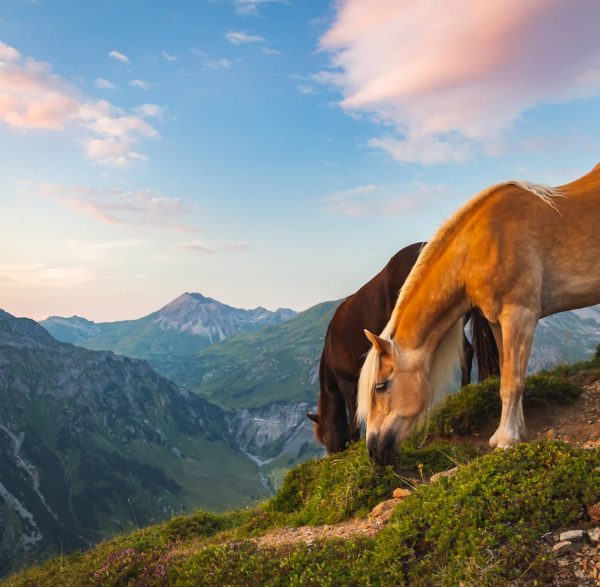 Horses in the Verwall Alps, Austria, July 2018 . . . . . ...