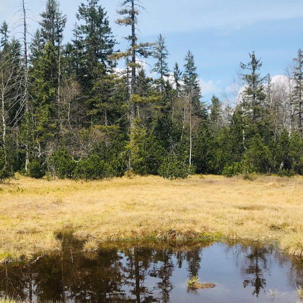 """Das Hochmoor """"Fohramoos"""". Dieser Lebensraum, der zwar ständig sehr nassen Torfboden aufweist, das ..."""