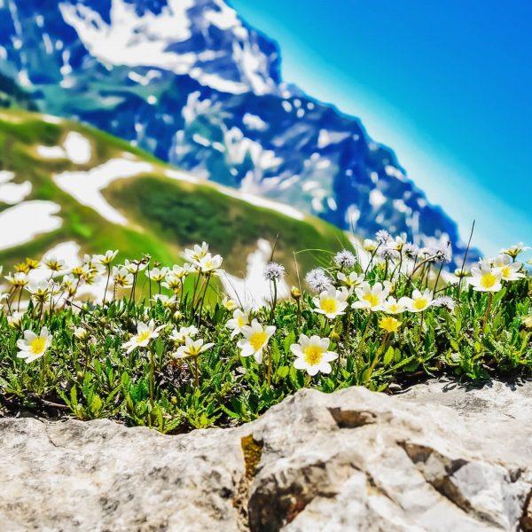 #austria #östereich #flower #blumen #mountains #mountainscape #alps #alpen #nikond500 #nikon #alpen #vorarlberg #arlberg ...