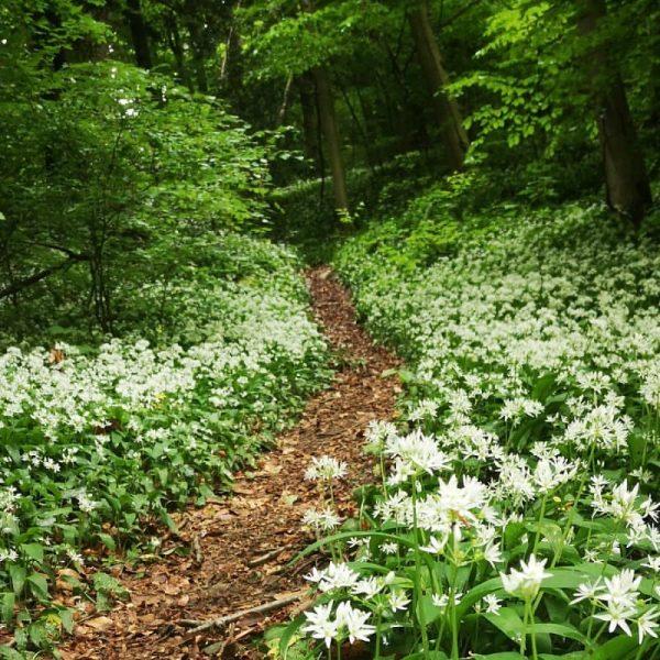 Fields of wild garlic... #vorarlberg #visitvorarlberg #esrthpix #esrthfocus #explore #bärlauch #vorarlbergtourismus #naturelovers #götzis ...