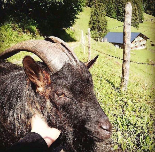 """""""Von den Alpen unserer Heumilchbauern"""" Auch Ziegenbock """"Toadwart"""" 🐐 verbringt den Sommer mit ..."""