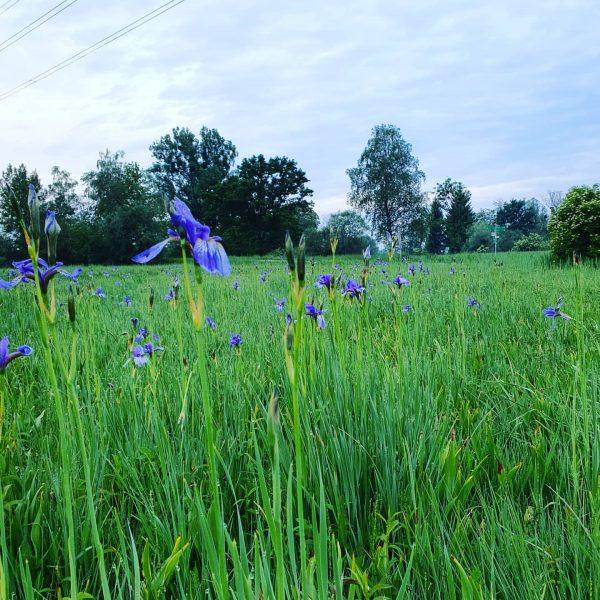 #nature #markevorarlberg #chancenreich #flowers #vorarlberg #morning Lauteracher Ried :)
