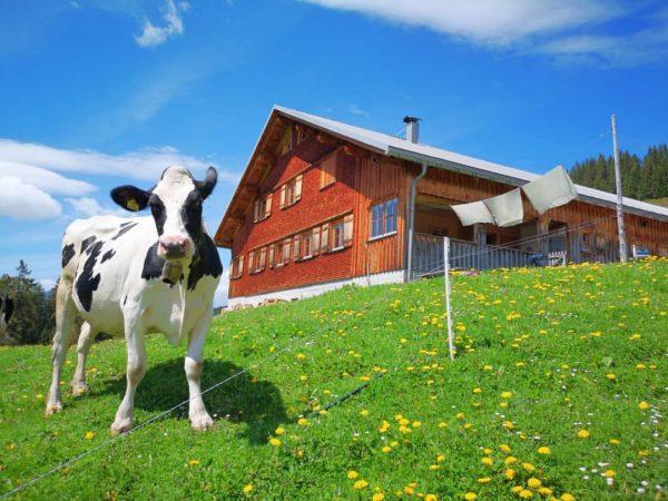 ☀️🌼ALPSOMMER 2020🐄🧀 Am Samstag sind wir mit unseren Kühen, Kälper, Hühner und Katze ...