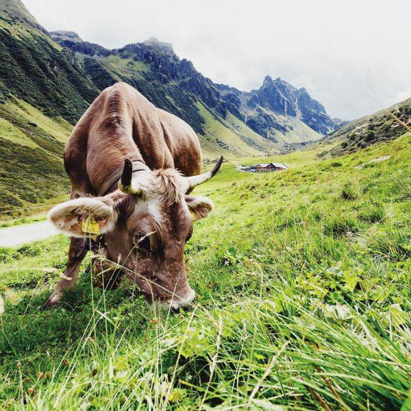 Wir lieben Kühe. Und den Sommer. Und die Alpen.... und VORARLBERGER KÄSE 🧀🧀🧀 ...