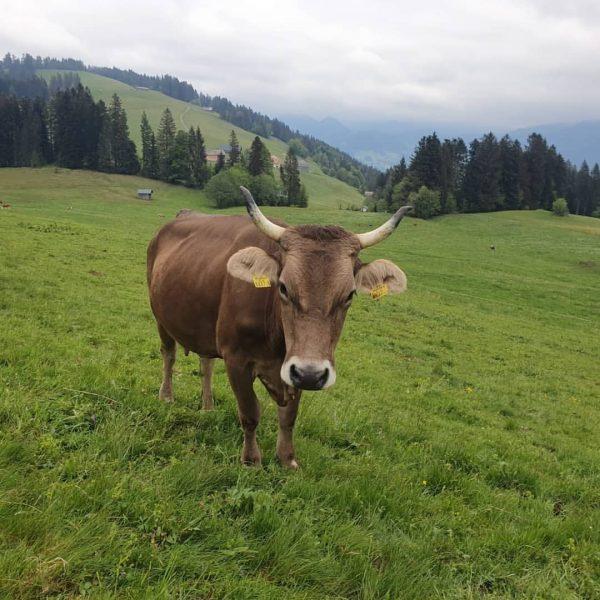 Wir wünschen euch ein KUHles 🐮Wochenende! Bei einer Wanderung 🥾 in Schwarzenberg trifft ...