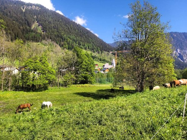 Sonne genießen #pferde #deutschesreitpony #alpenrosebrand #brandnertal #visitvorarlberg #venividivorarlberg #auszeit #urlaubambauernhof #mutterkühe vom Nachbarhof ...