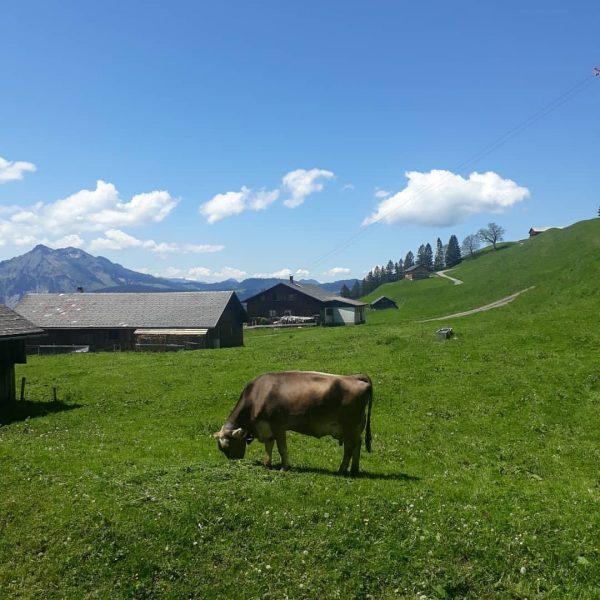 🐮⛰🌼 • #berghofbezau #bezau #sonderdach #bregenzerwald #vorarlberg #österreich #austria #visitvorarlberg #visitsonderdach #visitaustria #mai ...