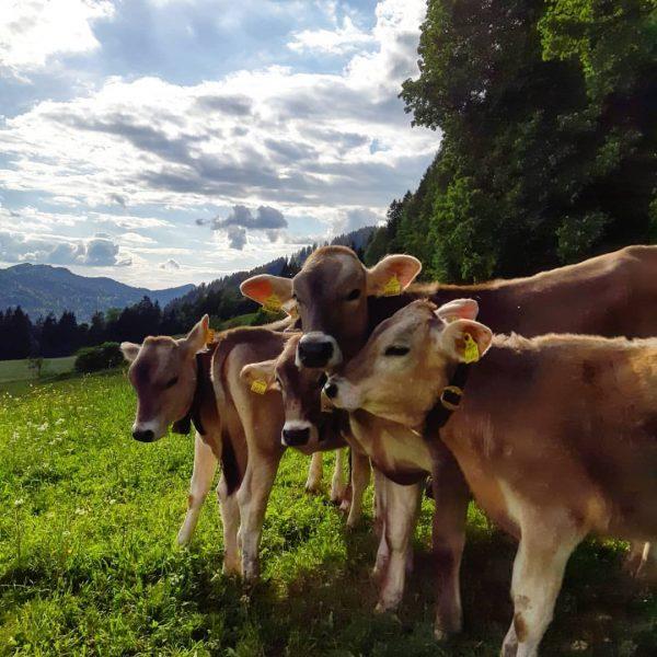 neugierige Kälble - Butschele 💛 #meinsibratsgfäll #venividivorarlberg #bregenzerwald