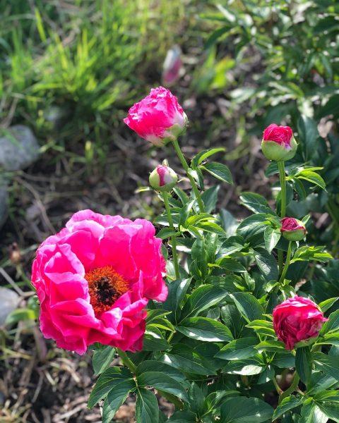 #peonies #beautifulnature #pinklover #nofilterneeded #inmygarden #pfingstrosen #love #childhoodmemories