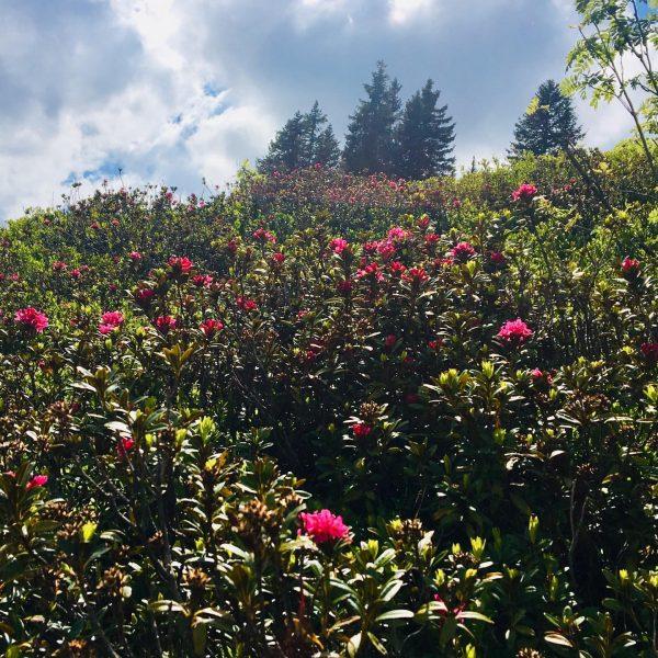 Ich kam. Ich sah. Die Alpenrose. #venividivorarlberg Und stolz erblüht sie wieder, die ...