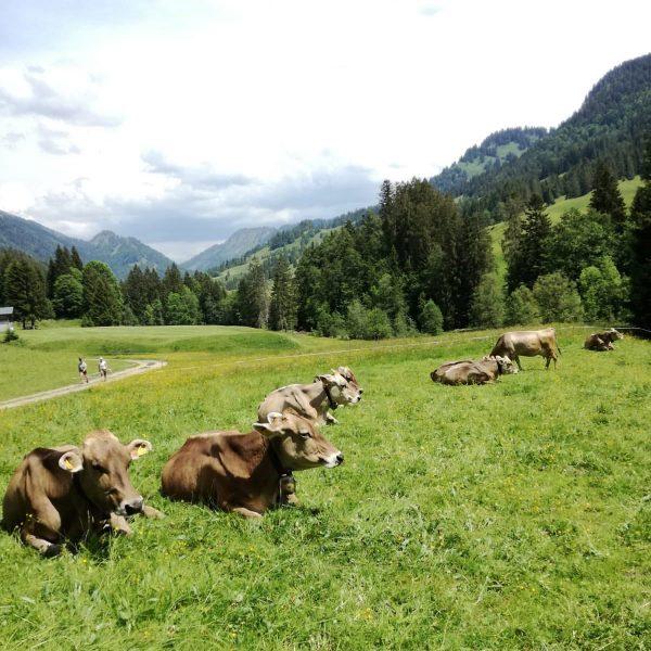 """""""Von den Alpen ⛰ unserer Heumilchbauern"""" 👉 Glückliche Kühe, beste Bergbauernheumilch, köstlicher """"Hittisauer Bergkäse"""". 🐄🌾🥛🧀 . #vondenalpenunsererheumilchbauern..."""