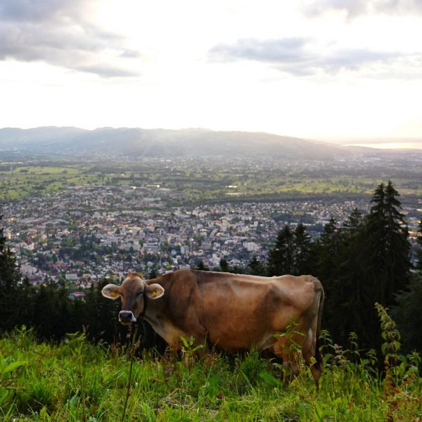 #cow #cattle #animal #city #cityscape #landscape #mountainorama #mountainous #rheintal #grass #sunset #valley #dornbirn #dornbirncity #vorarlberg #venividivorarlberg Schwende...
