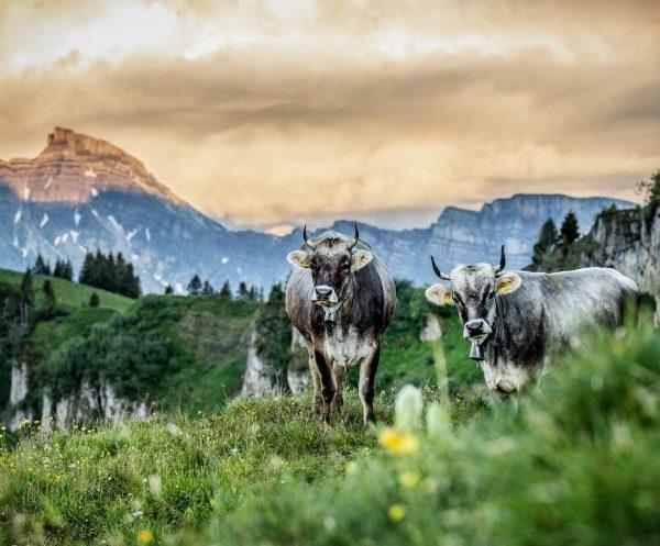 Discovering Austria's wildlife 🤠 #bregenzerwald #cowseverywhere Egg, Austria