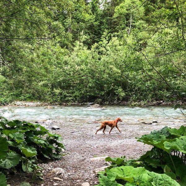 Crystal clear river 🏞 #kleinwalsertal #austria #holiday #wanderlust #vizsla #vizslagram #vizslalove #hungarianviszla #vizslasofinstagram ...