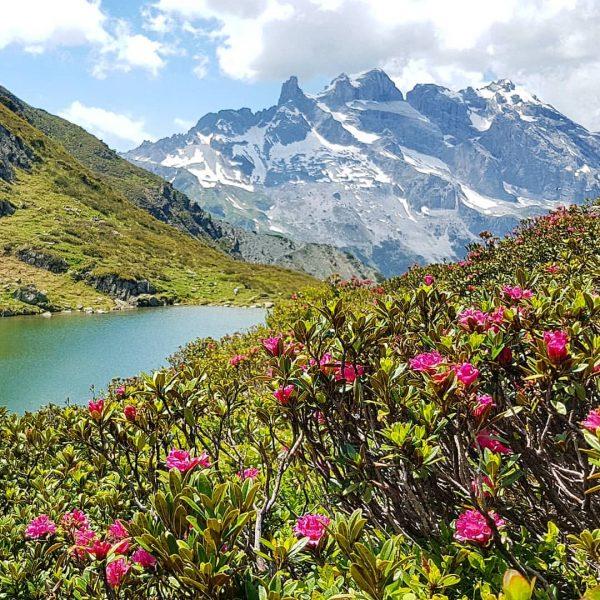 Alpenrosenblüte 🌺 #alpenrose #tobelsee #3türme #tschagguns #montafon #meinmontafon #vorarlberg #wandern #hiking #mountains #bergsteigen ...