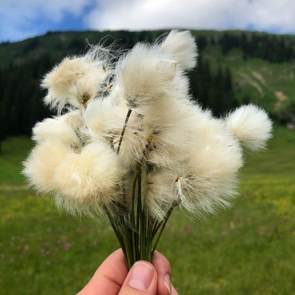Wälder Baumwolle 👌🏻 . #wollgras #moorpflanze #artenvielfalt #stonglermoos #wunderschön #visitbregenzerwald #visitvorarlberg #venividivorarlberg #bezau ...