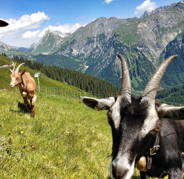 #arlberg #klösterle #vorarlberg #austria #österreich #mountain #goatsinacton #berge #alm Klösterle, Vorarlberg, Austria