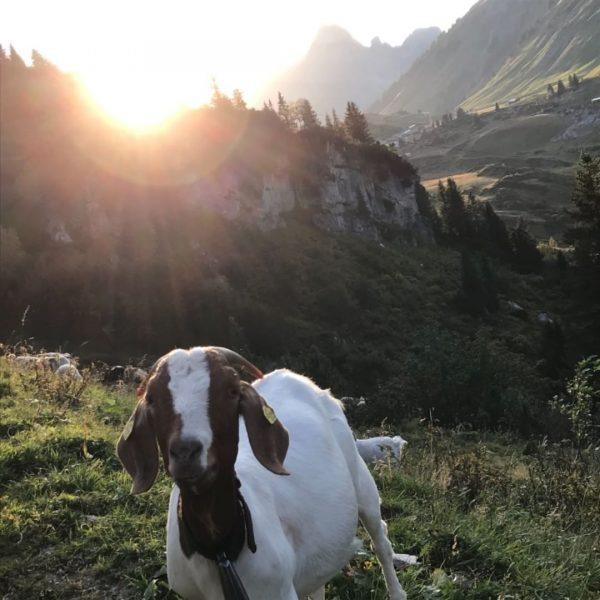 Sonnenuntergang in Hochkrumbach 🥰 #schafherde #lamm #sonnenuntergang #ziege #jägeralpe