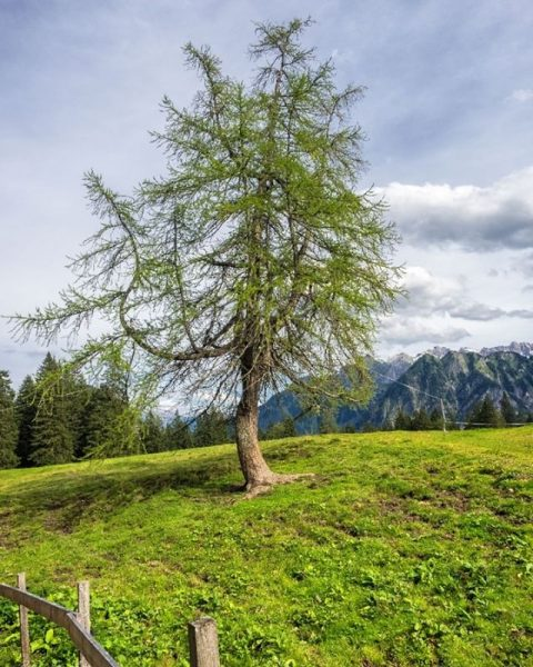 Solitary tree in an alpine meadow along the barefoot path near the Dorfbahn ...