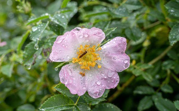 Neben flüchtenden Schnecken tummelten sich in den vom Regen geküssten Blüten wahnsinnig viel ...
