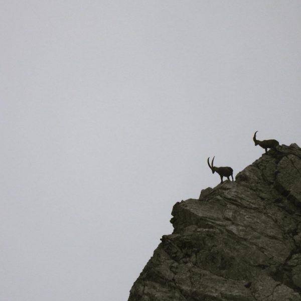 Was für ein Anblick! Steinböcke auf dem Gipfel. Bergheil! #auroralech #bergefürdieseele #nature #naturephotography ...