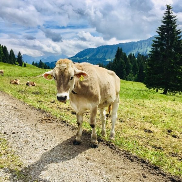 Hello again Alpe #kleinwalsertal #riezlern #osterberg #austria🇦🇹 #österreich #alps #alpen #cow #mountains #mountainlover ...